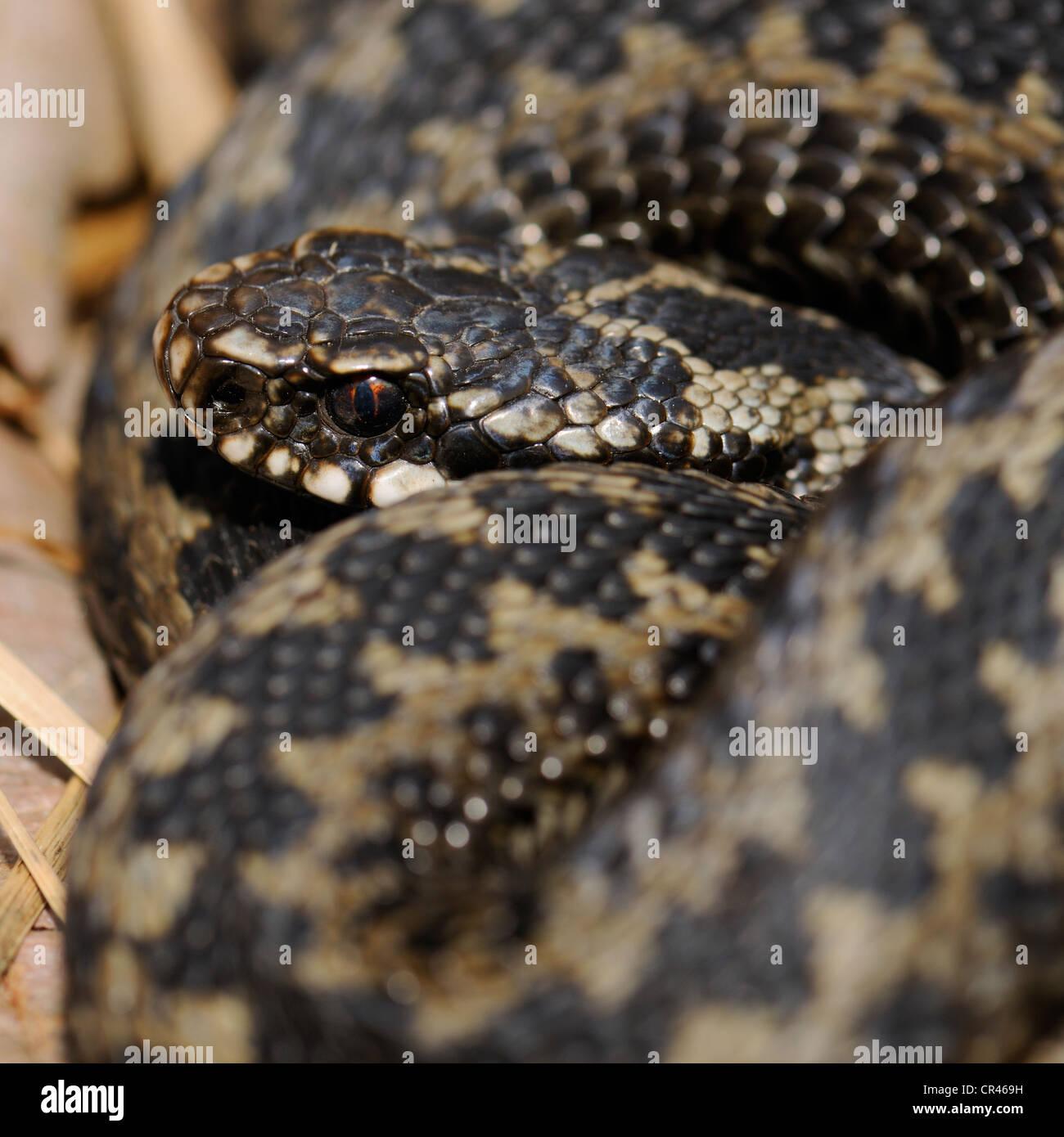 Common European Adder or Common European Viper (Vipera berus), Hornborgasjoen lake, Vaestergoetland, Sweden, Scandinavia, - Stock Image