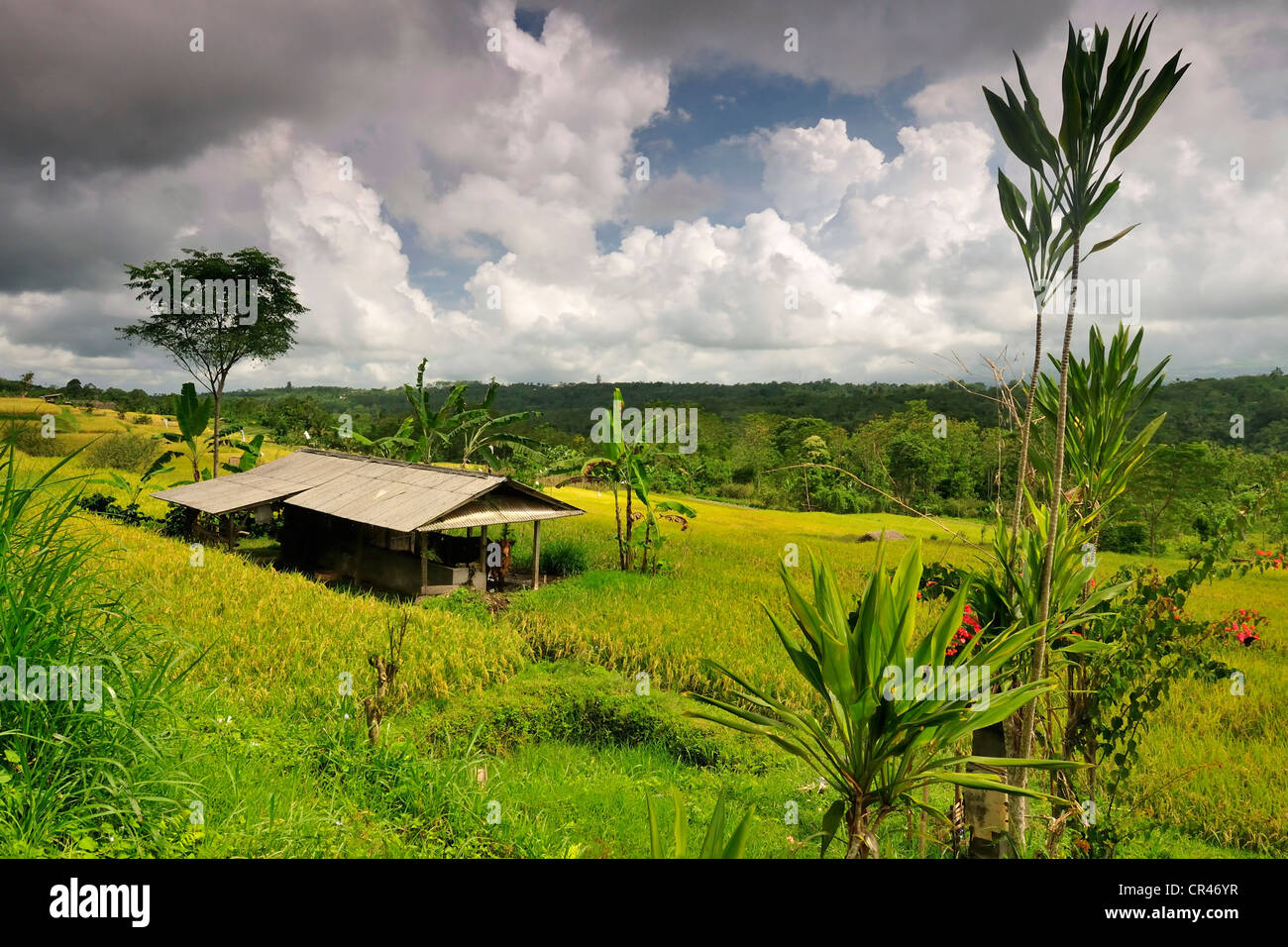Rice terraces, Pacung, Bali, Indonesia, Asia - Stock Image
