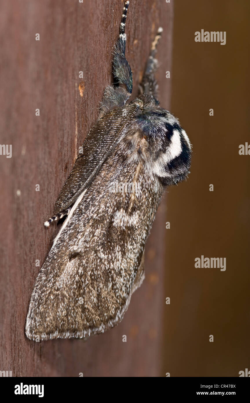 Moth with feathery antennae - Stock Image