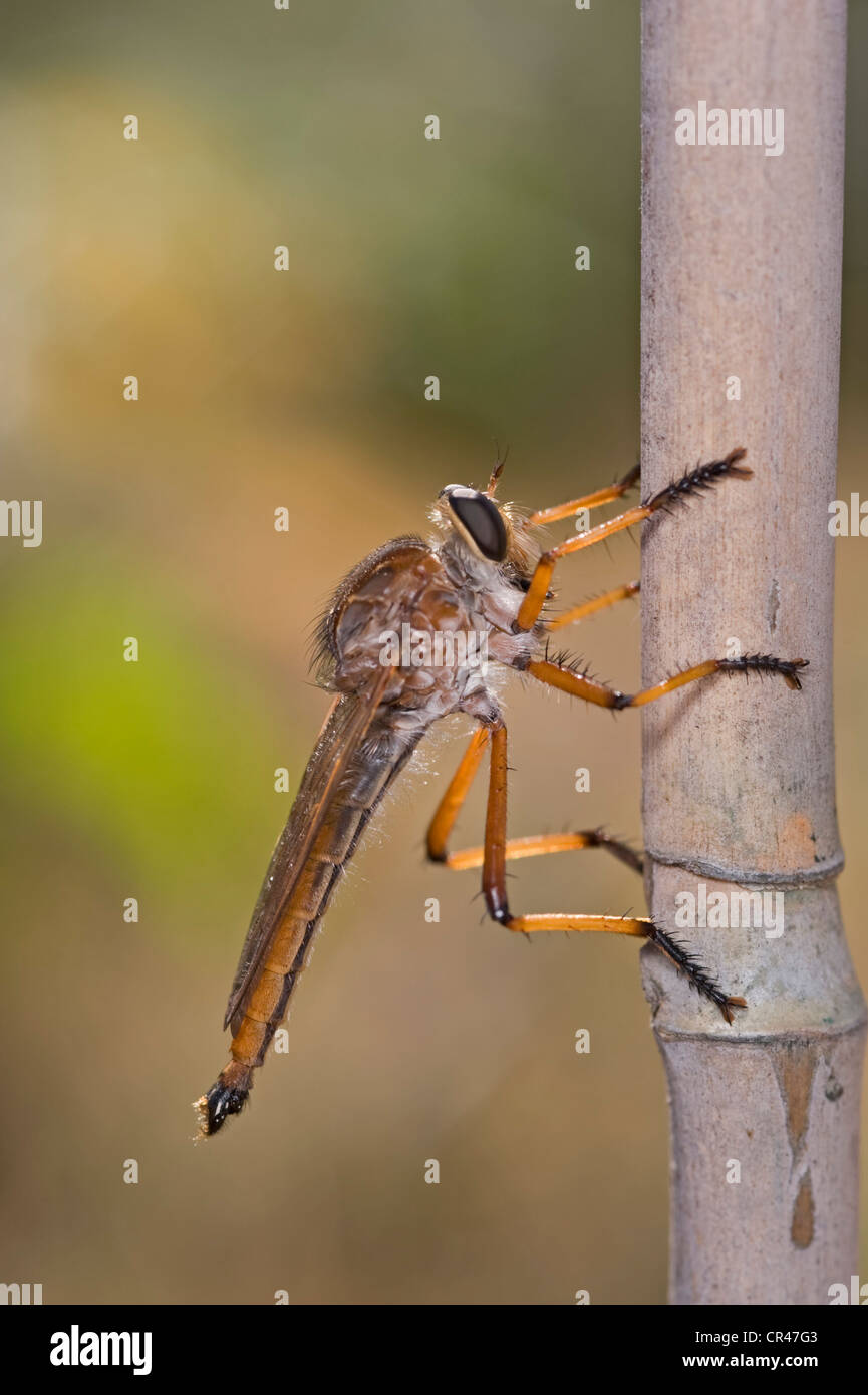 Robber fly on bamboo stake - Stock Image