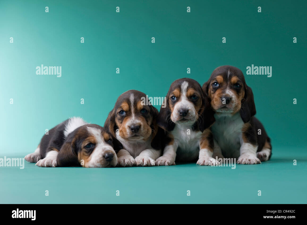 Four Basset Hound Puppies - Stock Image