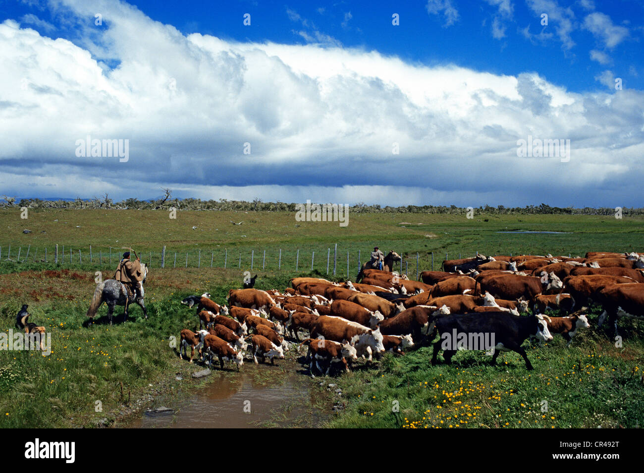 Chile, Magallanes and Antartica Chilena Region, Ultima Esperanza Province, huasos (herd keeper) leading its herd - Stock Image