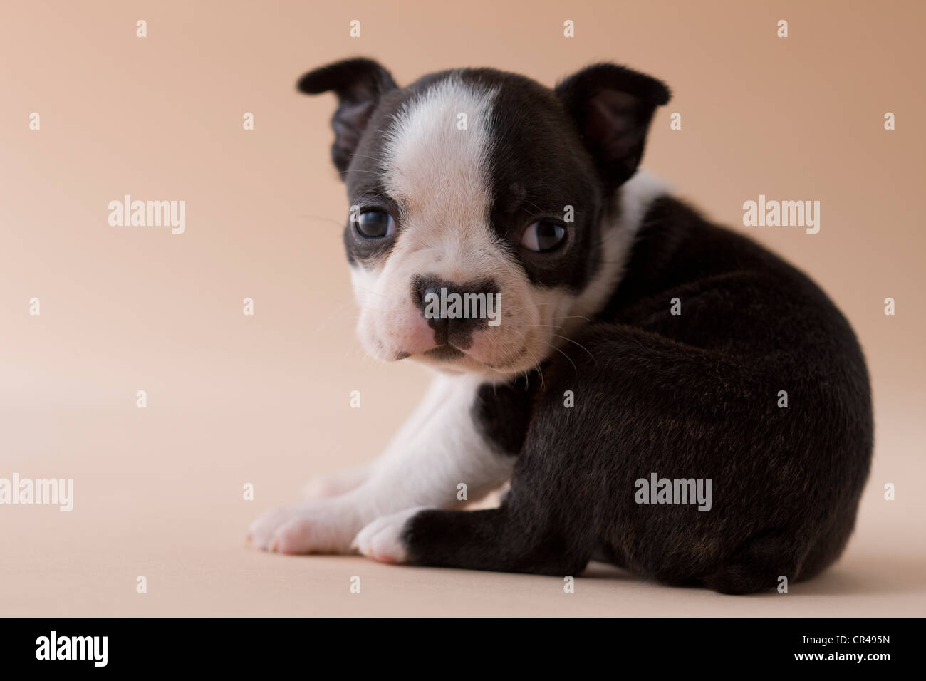 Boston Terrier Puppy - Stock Image