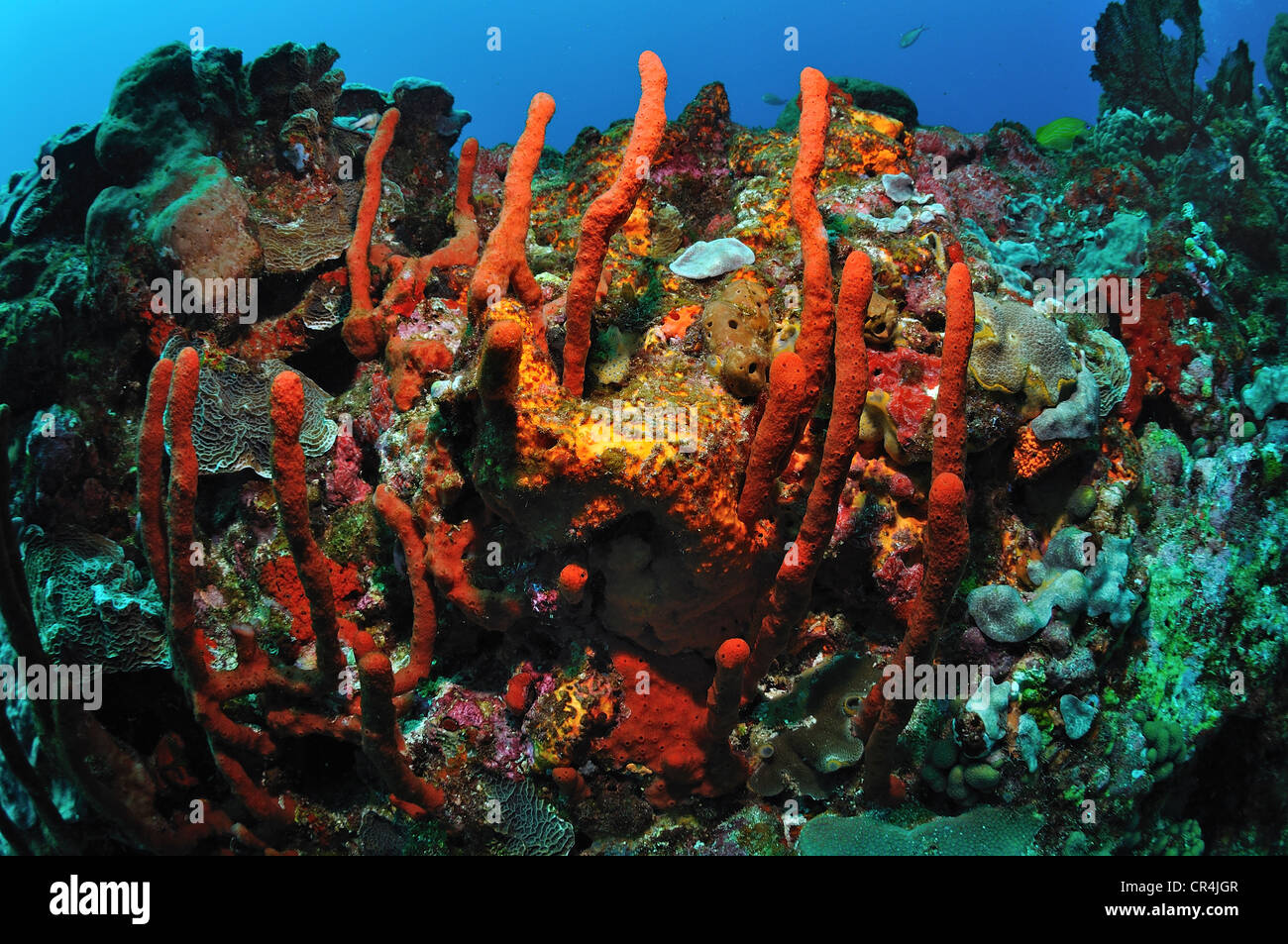 Mexico, Quintana Roo State, Carribean sea, coral reef - Stock Image