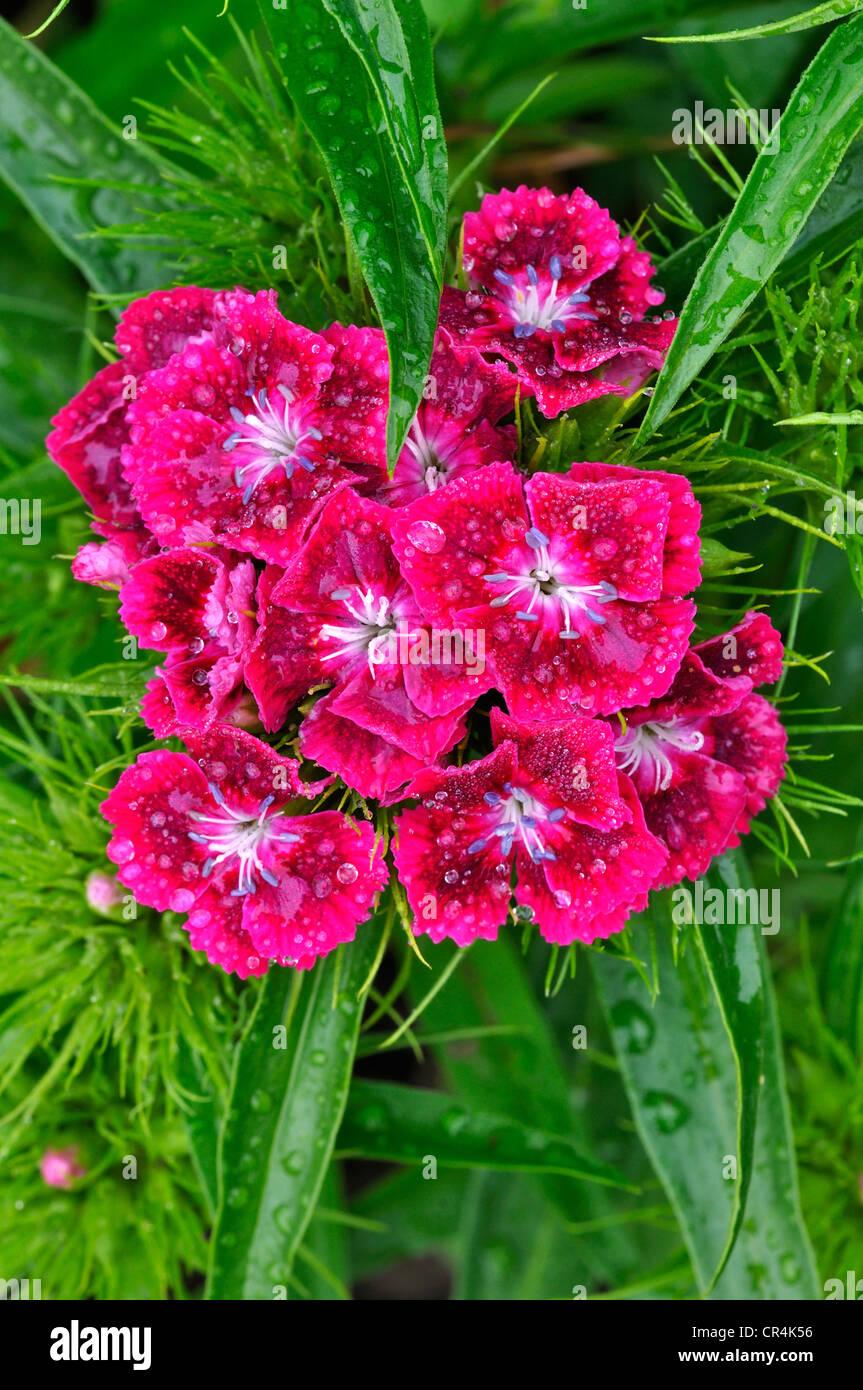 sweet william garden flower biennial - Stock Image
