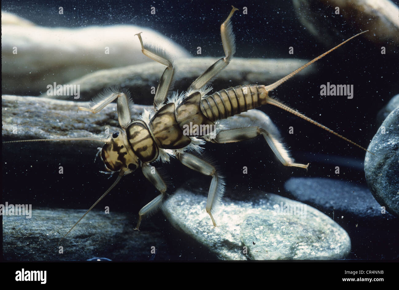 Larva of Stonefly, Plecoptera (Dinocras sp.) - Stock Image
