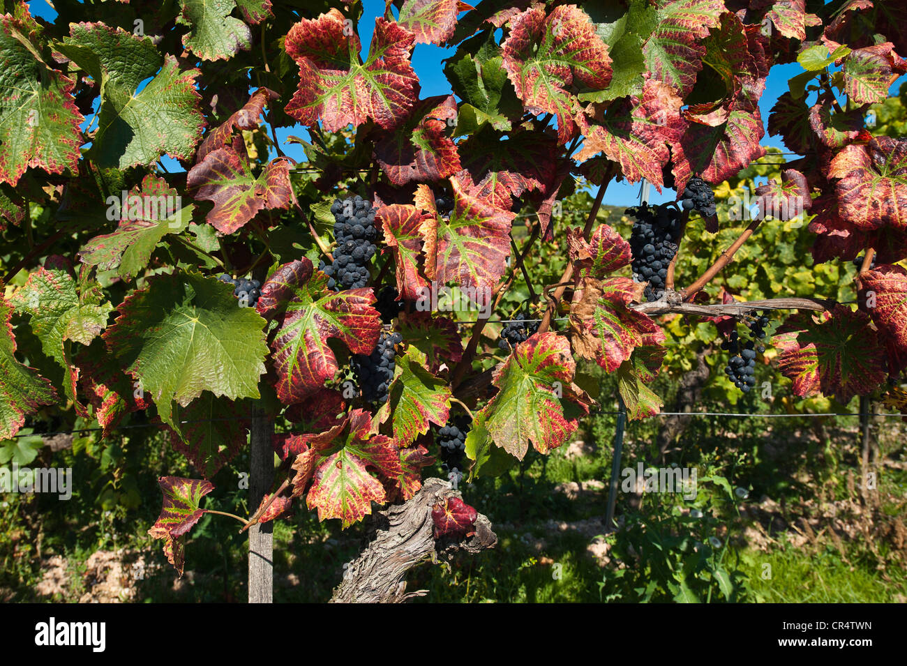 how to care for grape vines in the fall