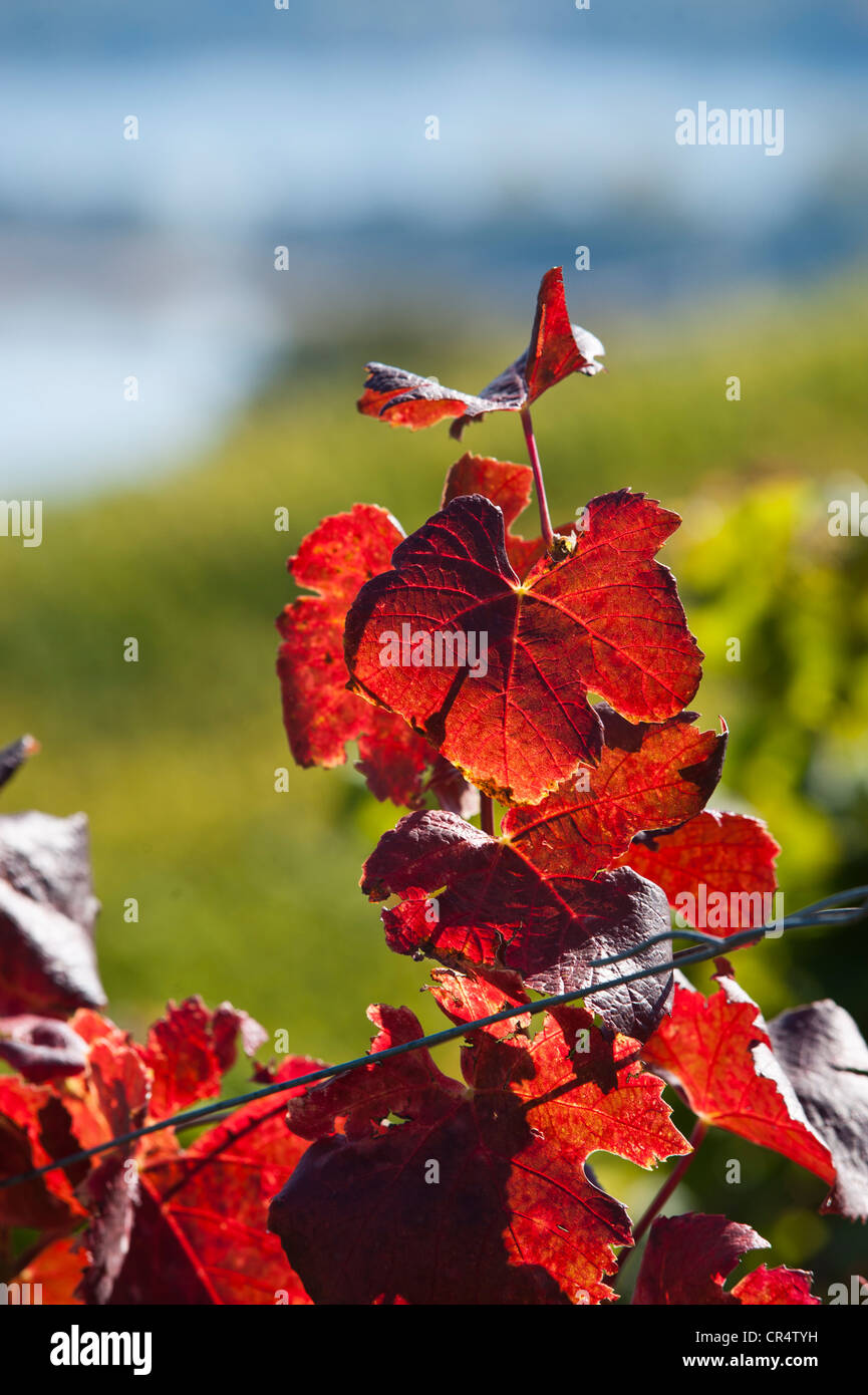 Vine leaves in autumn colours, vineyard, Rheingau, Hesse, Germany, Europe - Stock Image