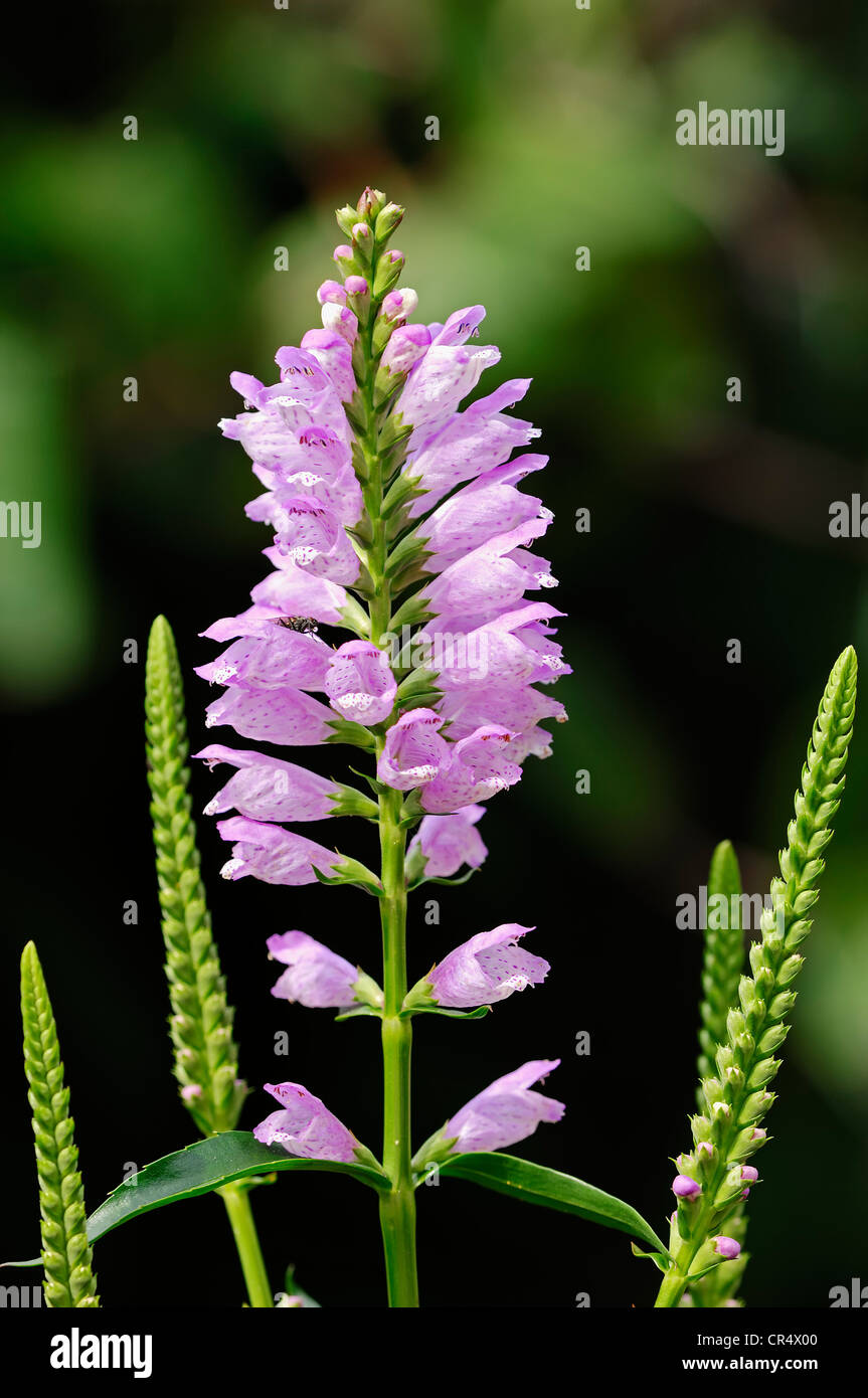 Obedient Plant or False Dragonhead (Physostegia virginiana), native to North America - Stock Image