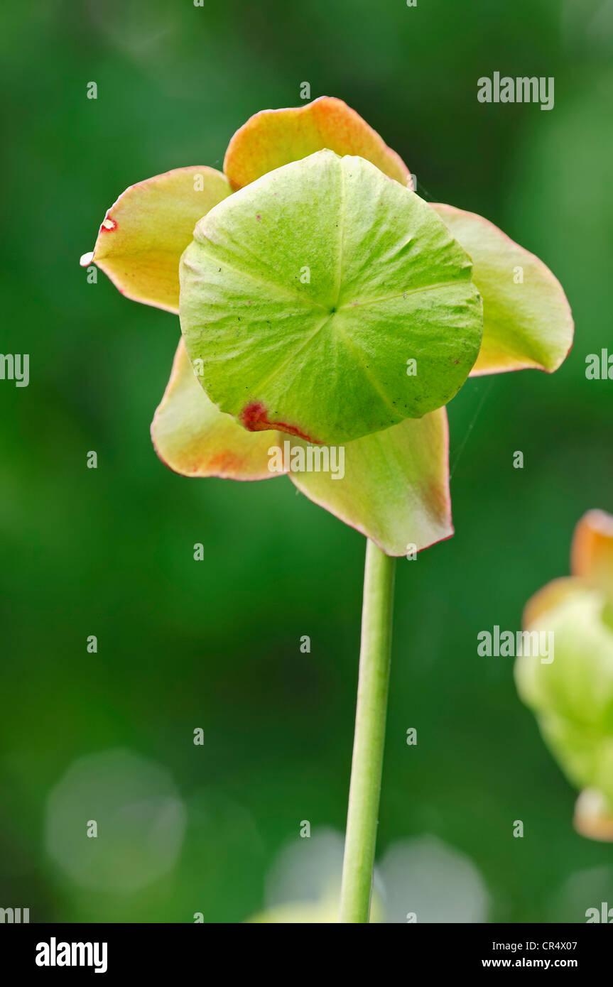 Purple Pitcher Plant or Side-saddle Flower (Sarracenia purpurea), flowering, native to North America, North Rhine Stock Photo