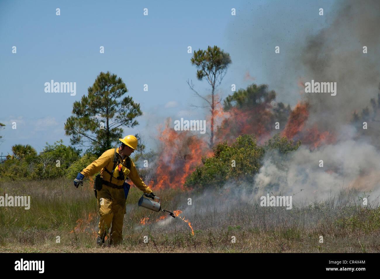 Forester lighting Slash Pine forest Pinus elliottii on fire, controlled burn, Florida USA - Stock Image