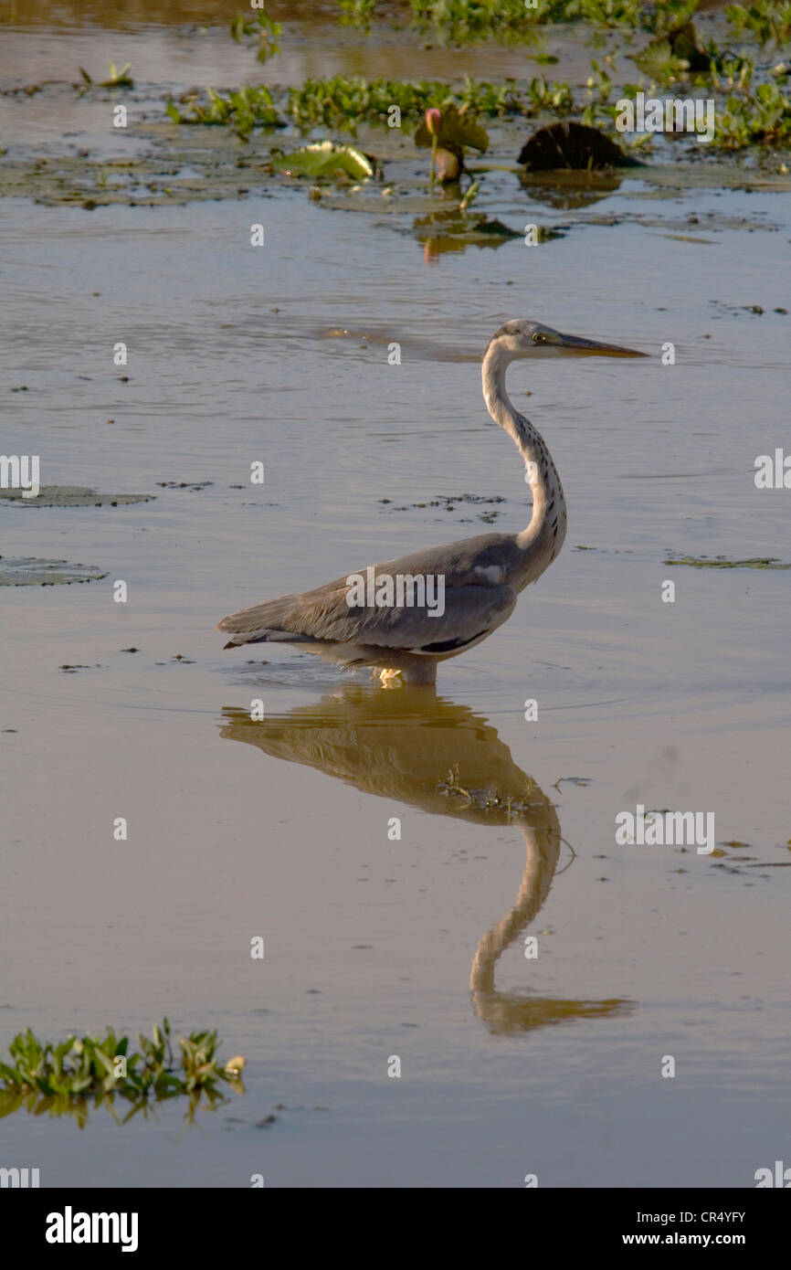 Grey heron (ardea cinerea), Yala West (Ruhuna) National Park, Sri Lanka - Stock Image