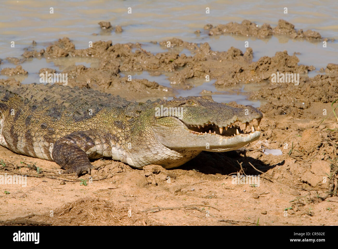 Mugger crocodile (crocodylus palustris), Yala West (Ruhuna) National Park, Sri Lanka - Stock Image