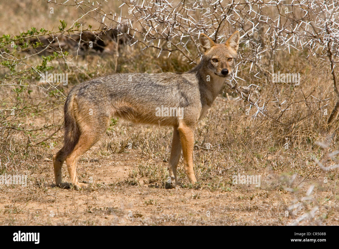 Black-backed jackal (canis mesomelas), Yala West (Ruhuna) National Park, Sri Lanka Stock Photo