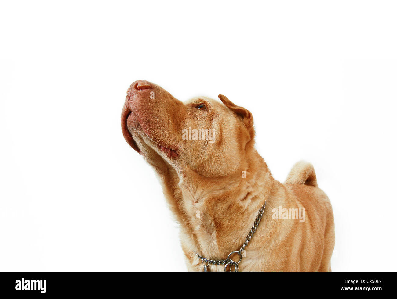 cream shar pei adult dog with dog chain looking up to the sky - Stock Image