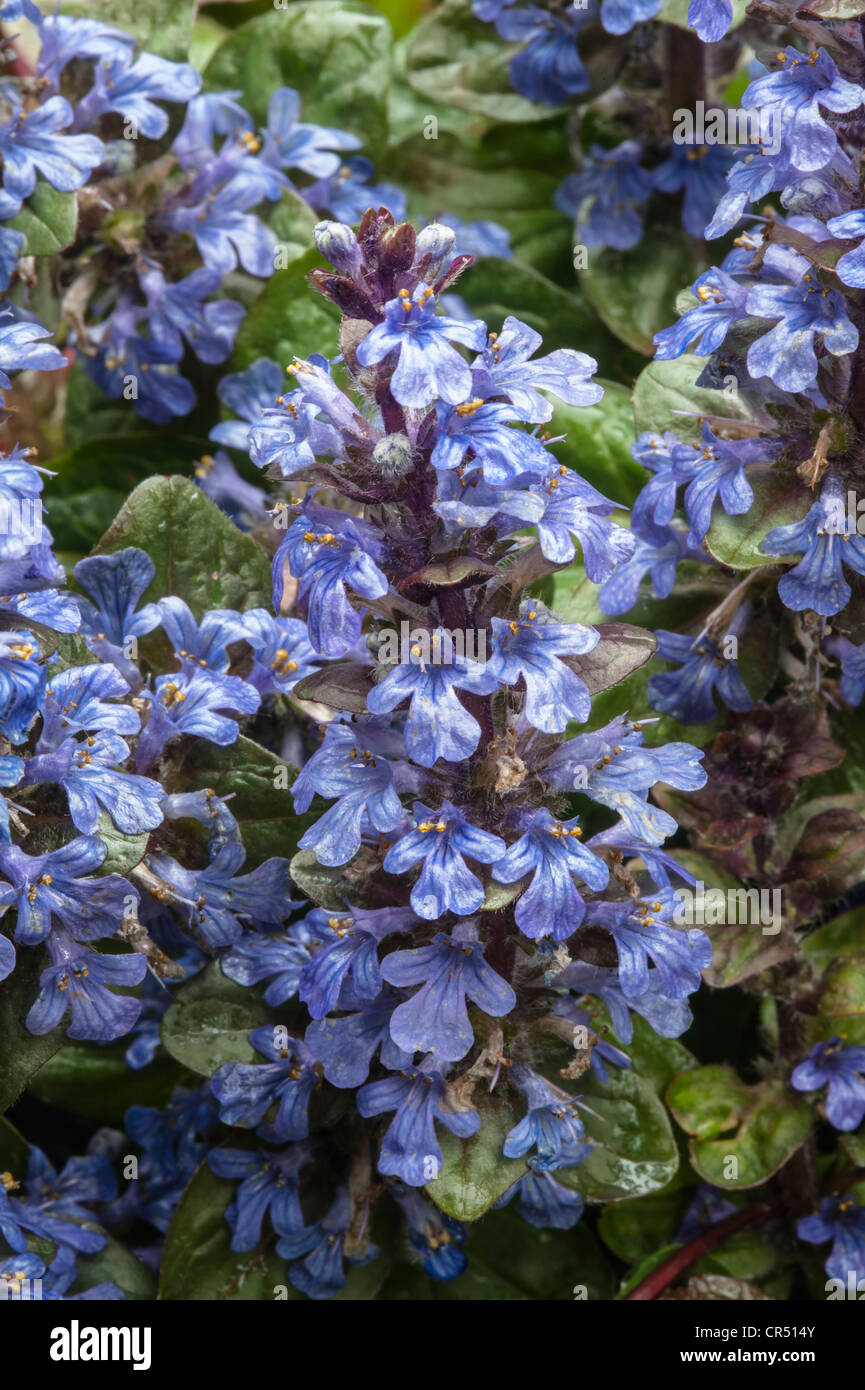 Bugle (Ajuga reptans) thrives in woods, shady grassy places Malham Tarn FSC grounds Yorkshire Dales National Park - Stock Image