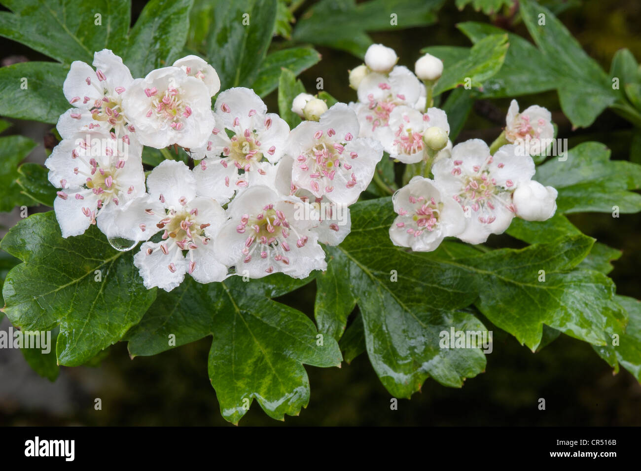 Hawthorn (Crataegus monogyna) branch with flowers in rain Malham Tarn FSC grounds Yorkshire Dales National Park - Stock Image