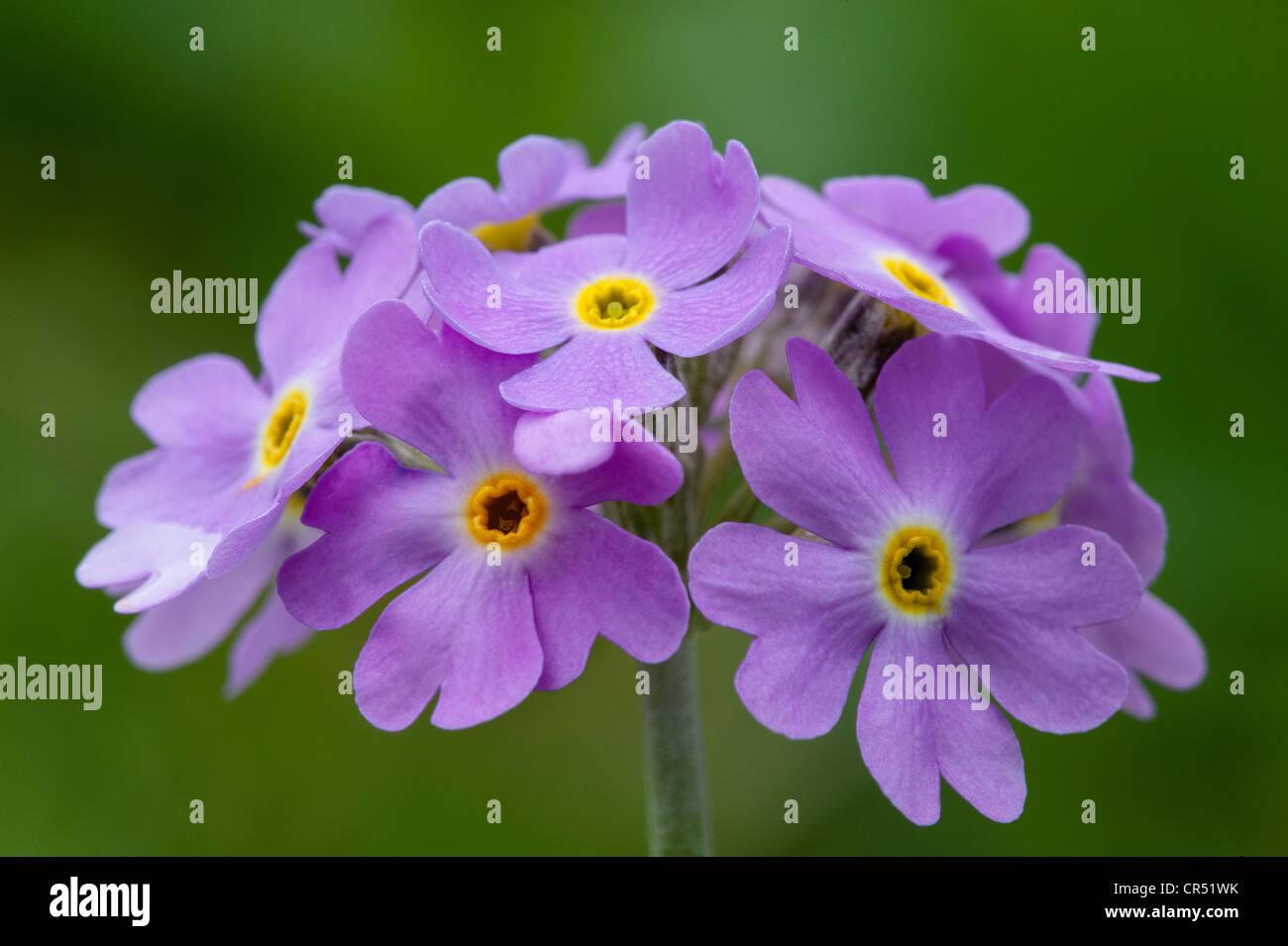Bird's-eye primrose (Primula farinosa) close-up of flowers Waitby Greenriggs Nature Reserve Cumbria UK Europe June Stock Photo