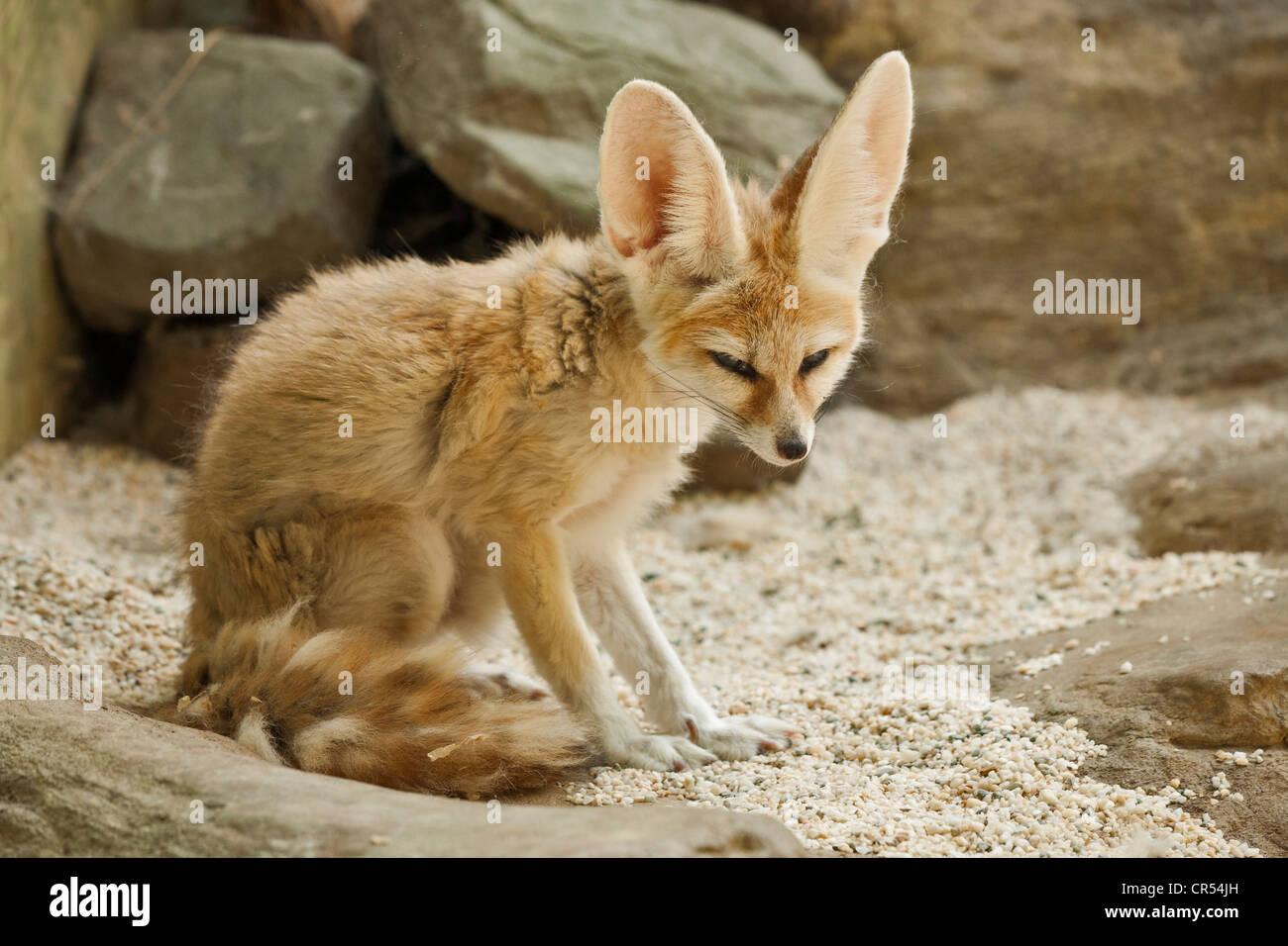 Fennec fox portrait-Note-Captive subject. - Stock Image