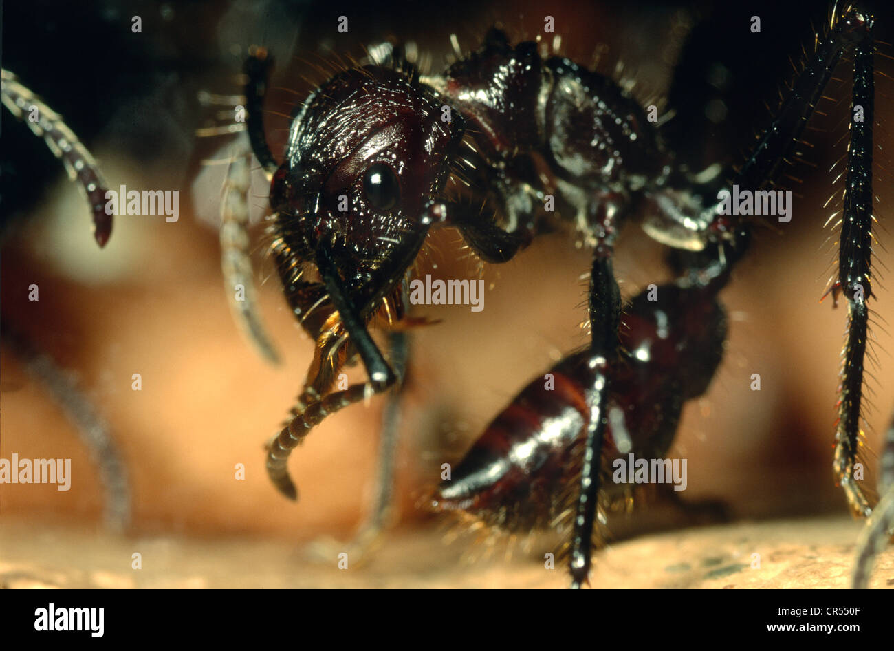 Bullet Ant, Paraponera clavata, grooming itself at the Amazon rainforest at Explorama Lodge, in Iquitos, Peru Stock Photo