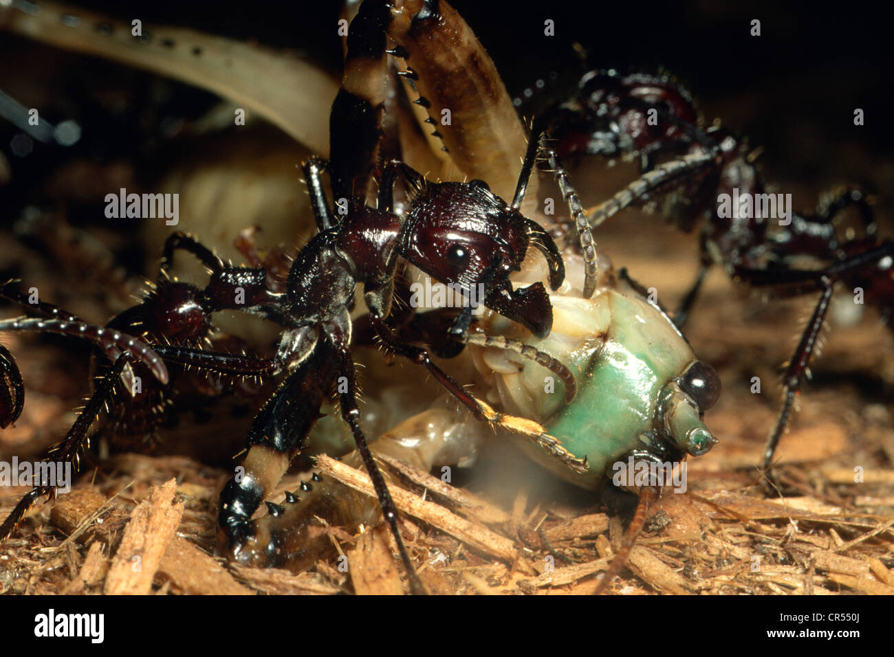 Bullet Ant, Paraponera clavata, carving up a katydid to take back to nest at the Cincinatti Zoo. Will feed to larvae. Stock Photo