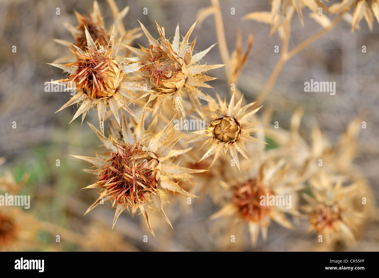 Safflower (Carthamus tinctorius), grown large-scale by the major landowners at the expense of the Chaco vegetation - Stock Image