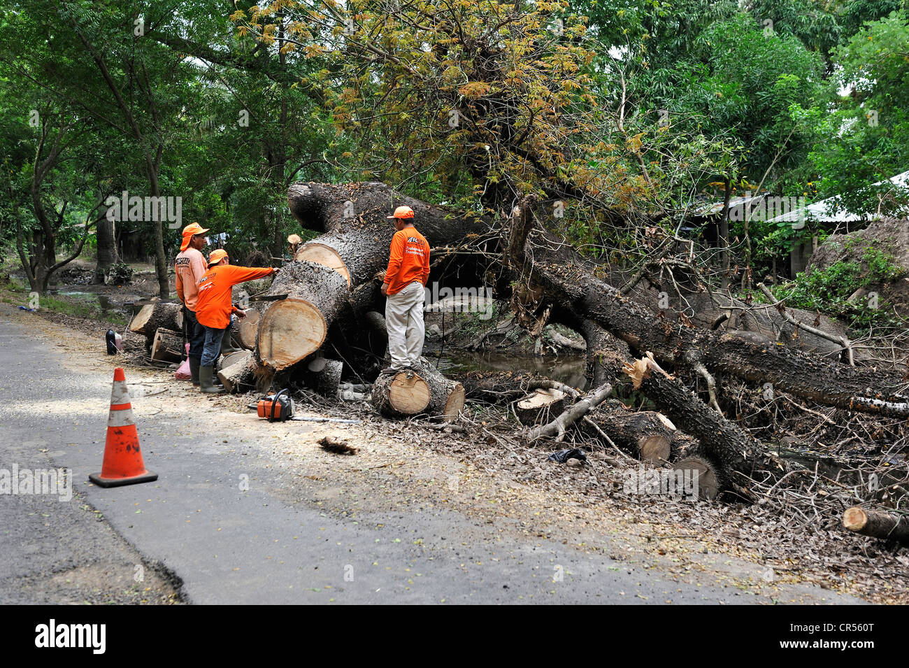 Workers trying to remove a large tree trunk that fell on the road in the flood disaster of October 2011, El Angel, - Stock Image