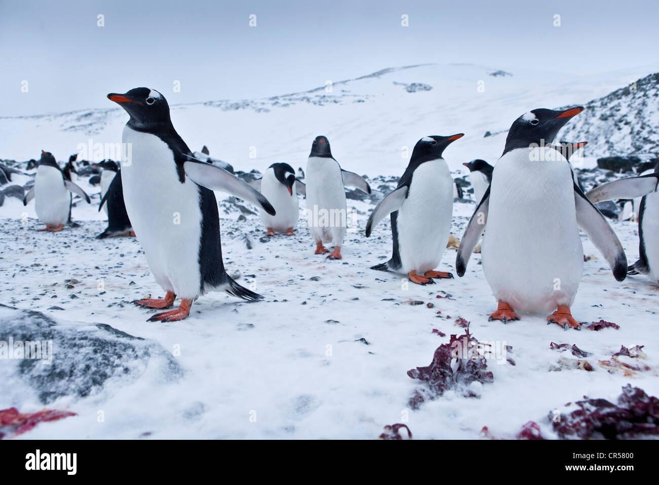 Gentoo Penguins (Pygoscelis papua), colony, Antarctic Region, Antarctica - Stock Image