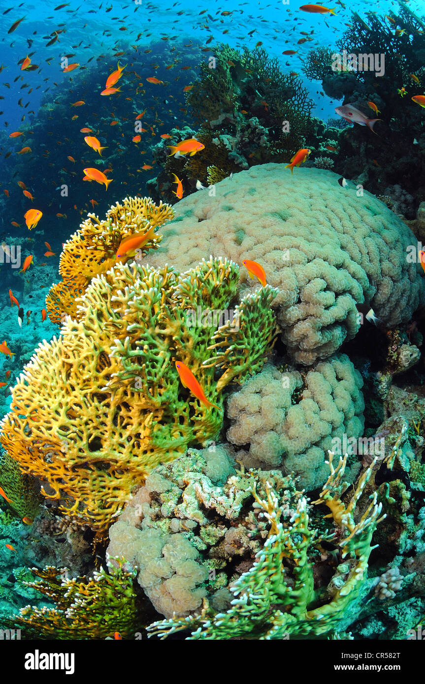 Egypt, Red Sea, bubble coral and fire coral on the left - Stock Image