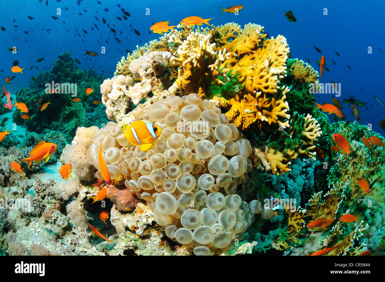 Egypte, mer Roiuge, a clownfish (Amphiprion bicinctus) and a sea anemone - Stock Image