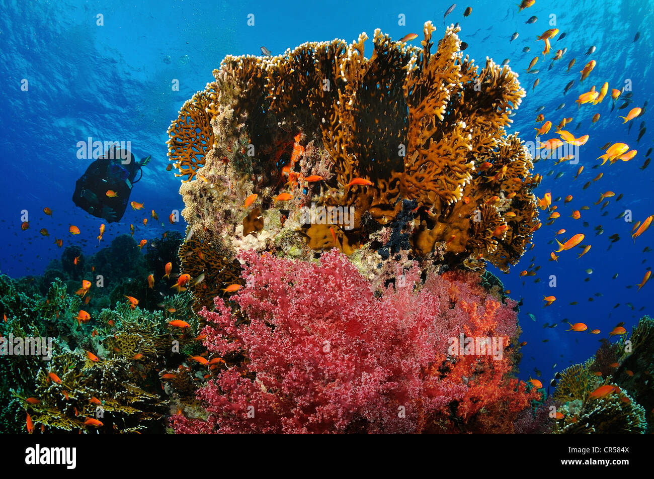 Egypt, Red Sea, coral reef with fire coral and red alcyonarians - Stock Image