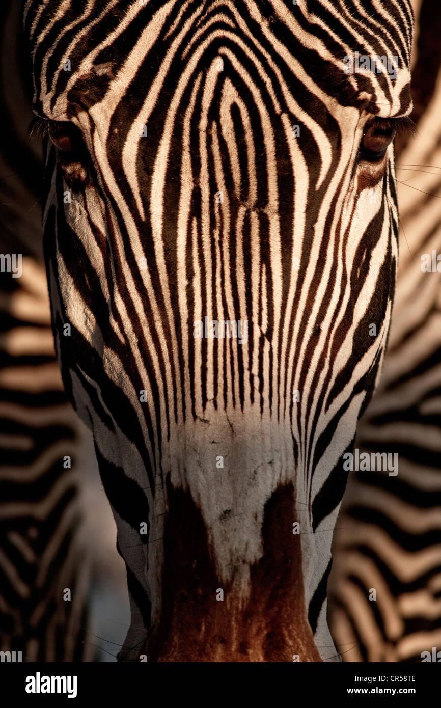Grevy's zebra (Equus grevyi) - Stock Image