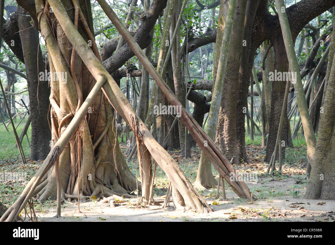 Some of the 3300 aerial roots of the world's largest banyan tree in Kolkatas botanical garden, Kolkata, West - Stock Image