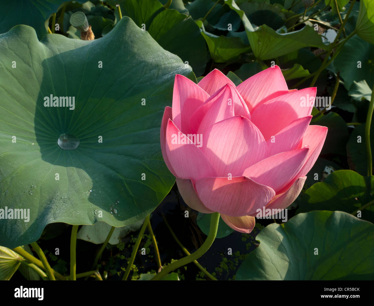 Lotus Flower Nelumbo Nucifera Srinagar Jammu And Kashmir India