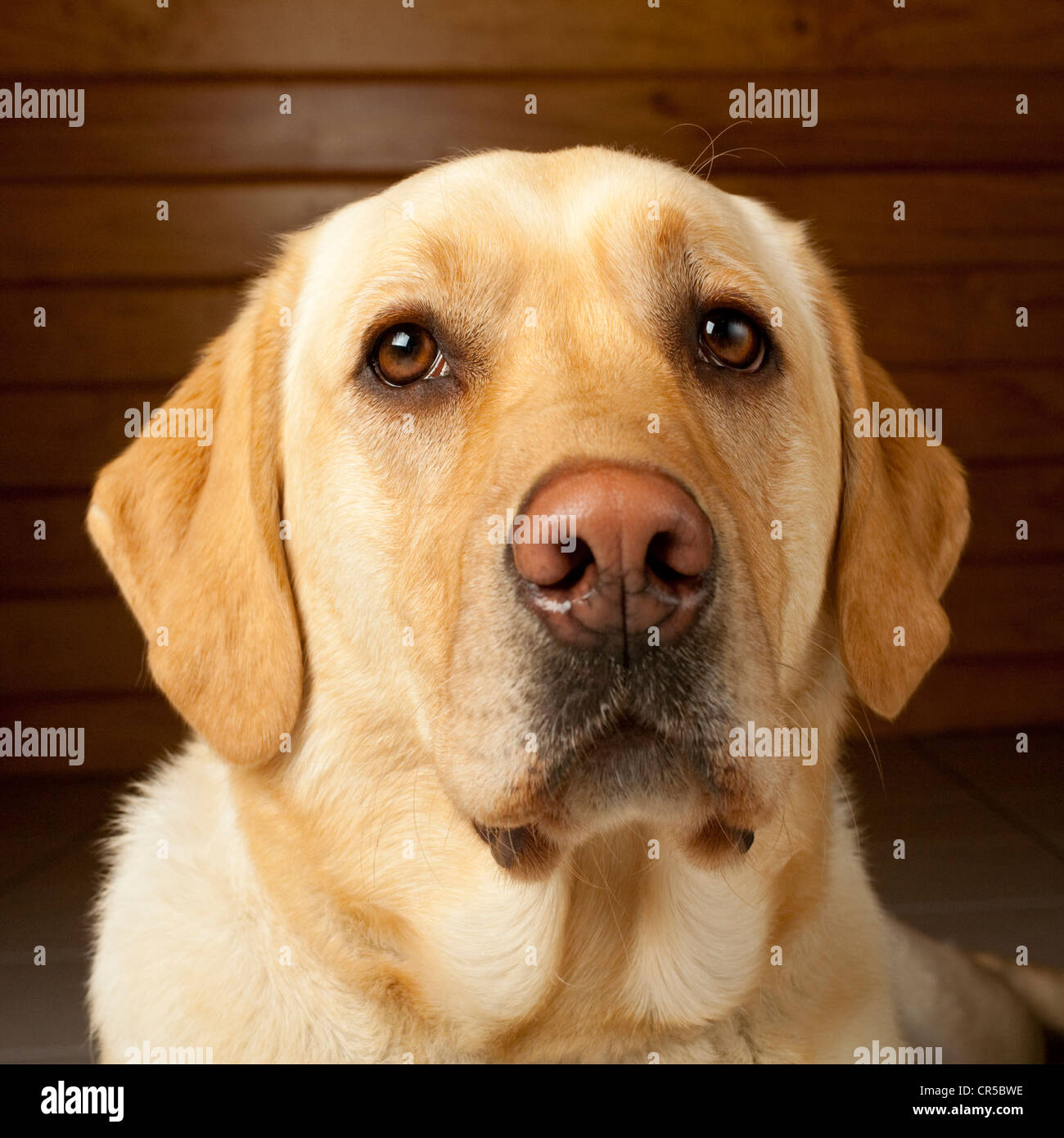 Golden labrador, 20 months old, determined not to to smile for the camera. - Stock Image