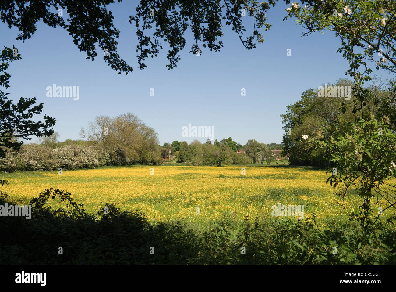 Fields of Buttercups and Daisies at Streatley -1 - Stock Image