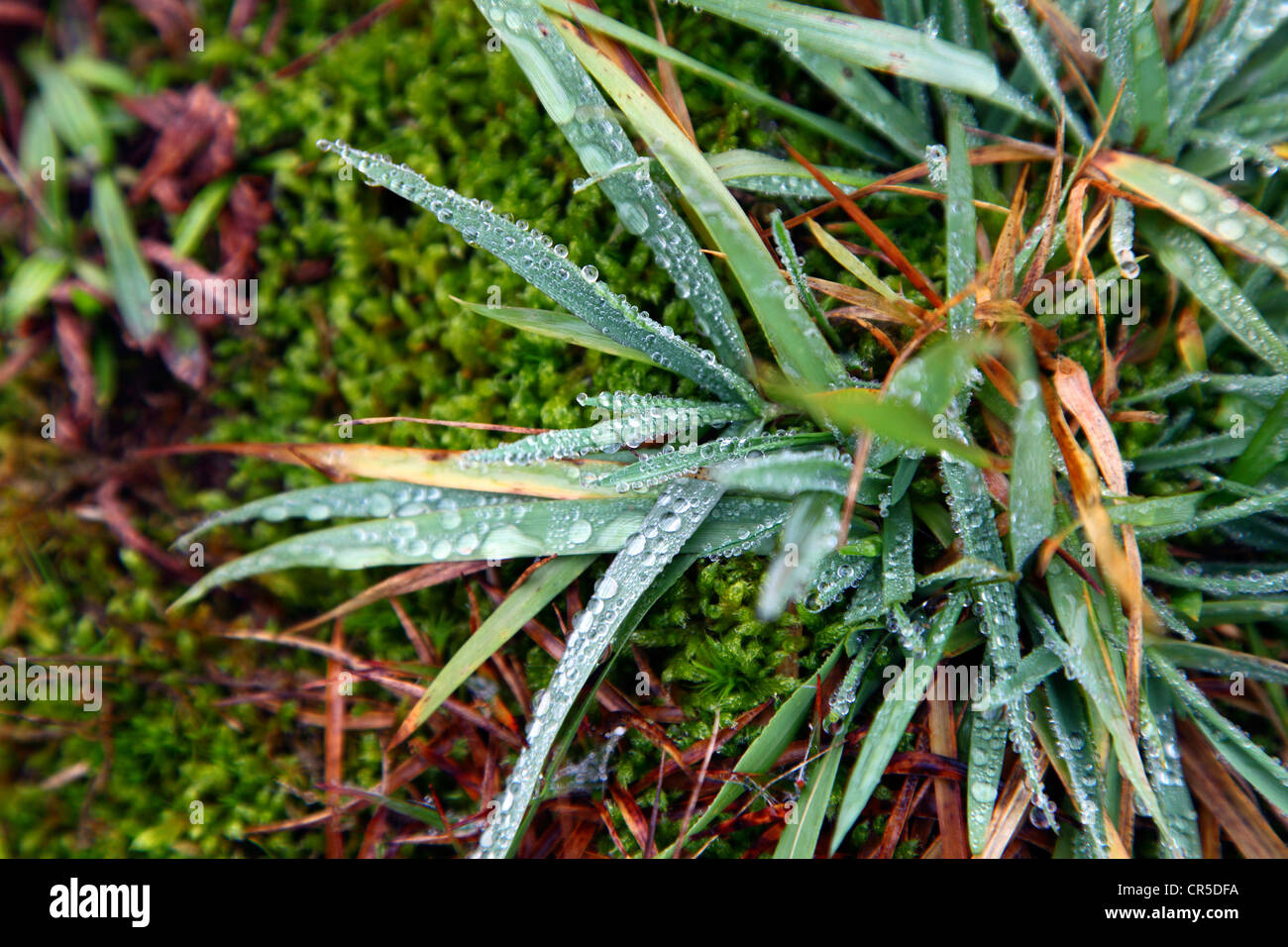 Raindrops on dune grass,  Spiekeroog, Lower Saxony, Germany, Europe. - Stock Image