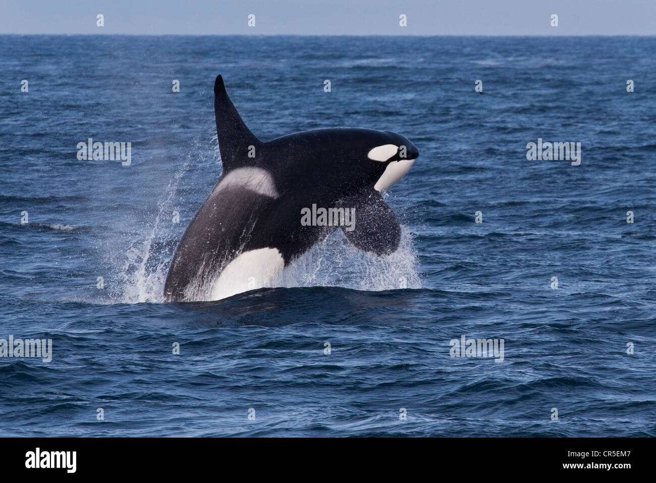 Transient Killer Whale/Orca (Orcinus orca). Large adult male breaching, Monterey, California, Pacific Ocean. - Stock Image