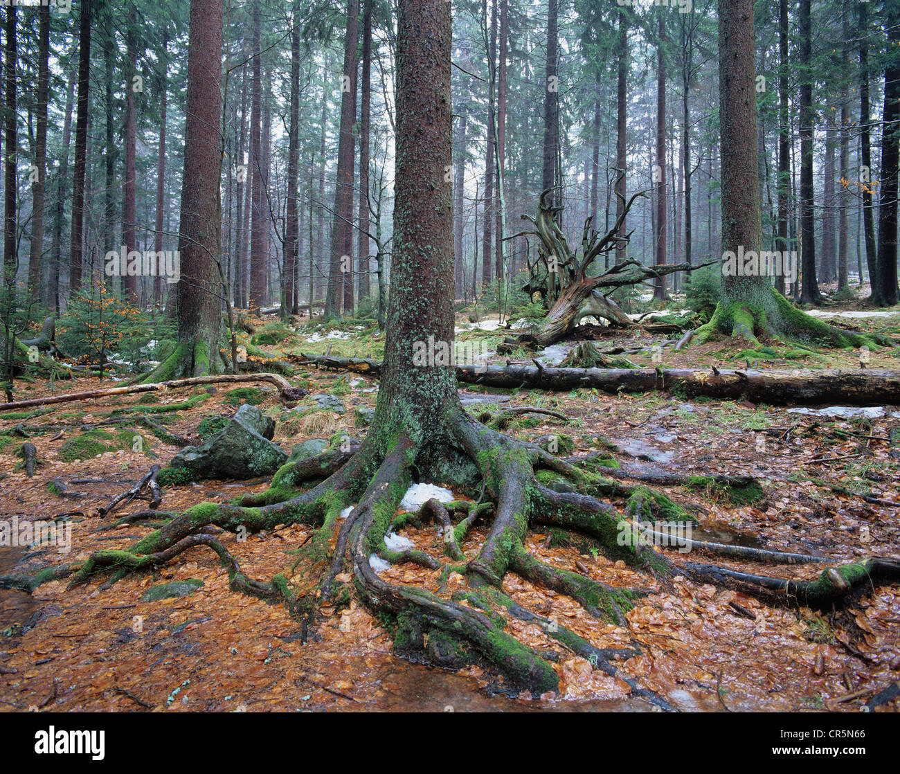 Forest with Norway spruce trees (Picea abies) and dead wood, remnants of snow, Bavarian Forest National Park, Bavaria - Stock Image
