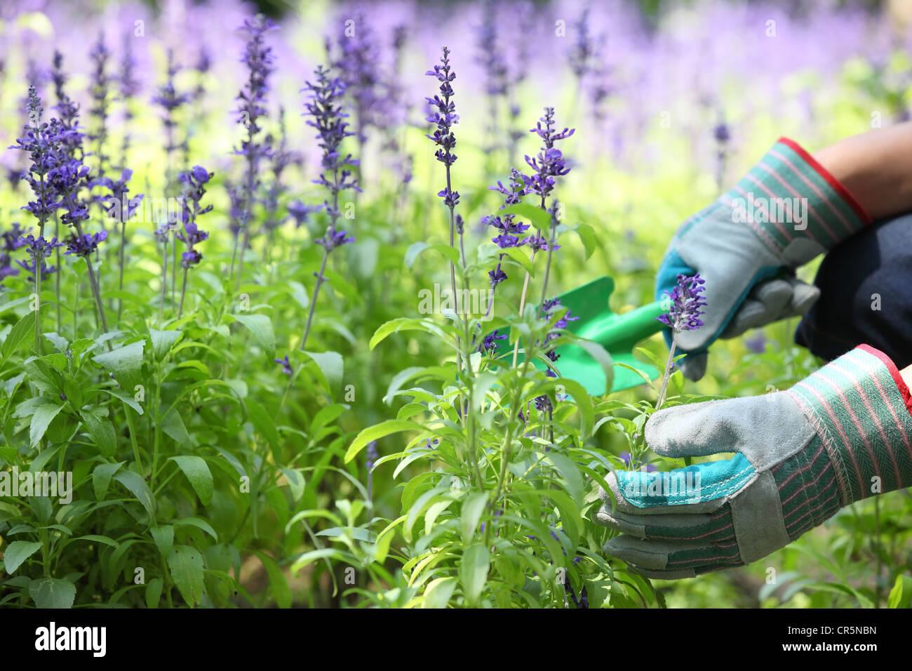 Garden worker dig up lavender flower bed. - Stock Image