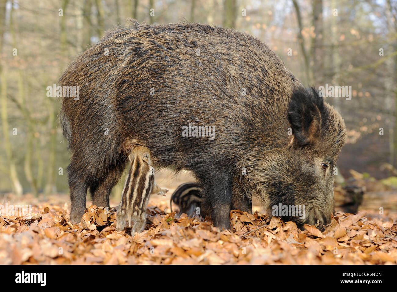 Wild Boars (Sus scrofa), sow with a suckling piglet, in an enclosure, North Rhine-Westphalia, Germany, Europe - Stock Image