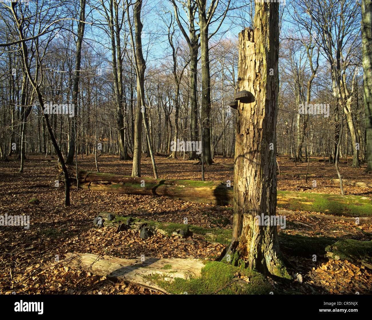 Deadwood, on ground and standing upright, UNESCO World Natural Heritage Site, Thuringia, Germany, Europe - Stock Image