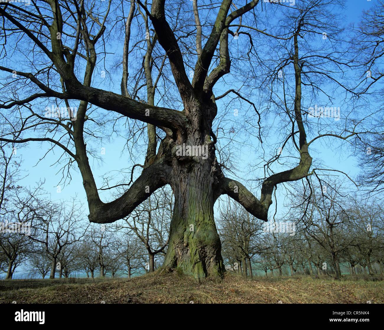 Old time tree (Tilia sp.), near Ichstedt, Kyffhaeuserkreis district, Thuringia, Germany, Europe - Stock Image