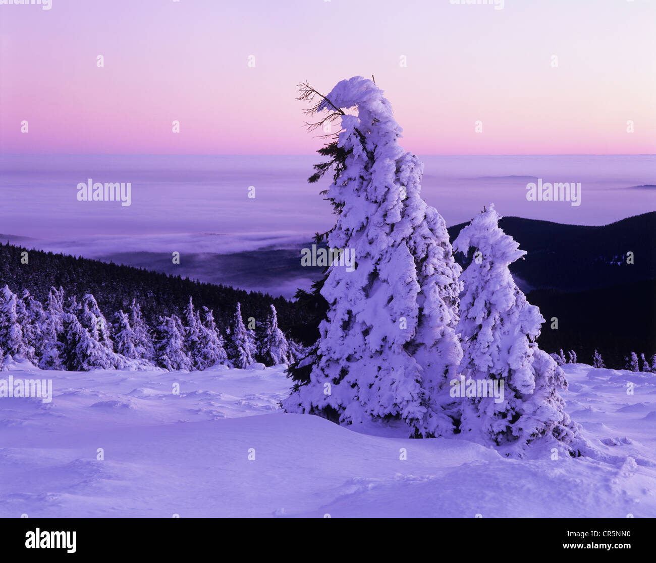 Snow covered Norway spruces (Picea abies) on Mt Brocken, during inversion weather, Harz mountain range, Saxony-Anhalt - Stock Image