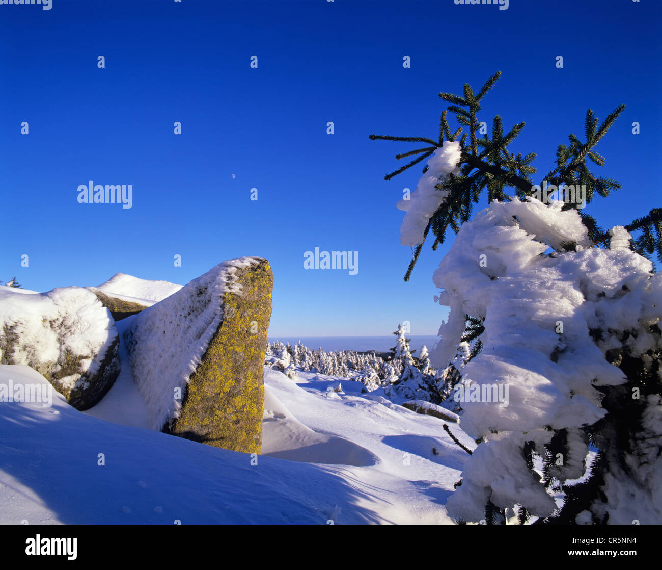 Snow covered Norway spruces (Picea abies) on Mt Brocken, moon in the sky, Harz mountain range, Saxony-Anhalt, Germany, - Stock Image