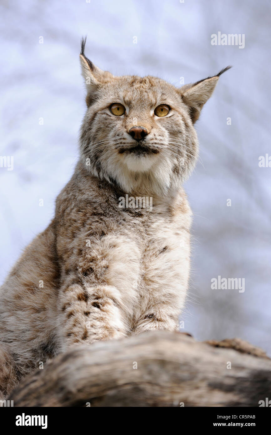 Lynx (Lynx lynx), Tierpark Suhl zoo, Thuringia, Germany, Europe - Stock Image