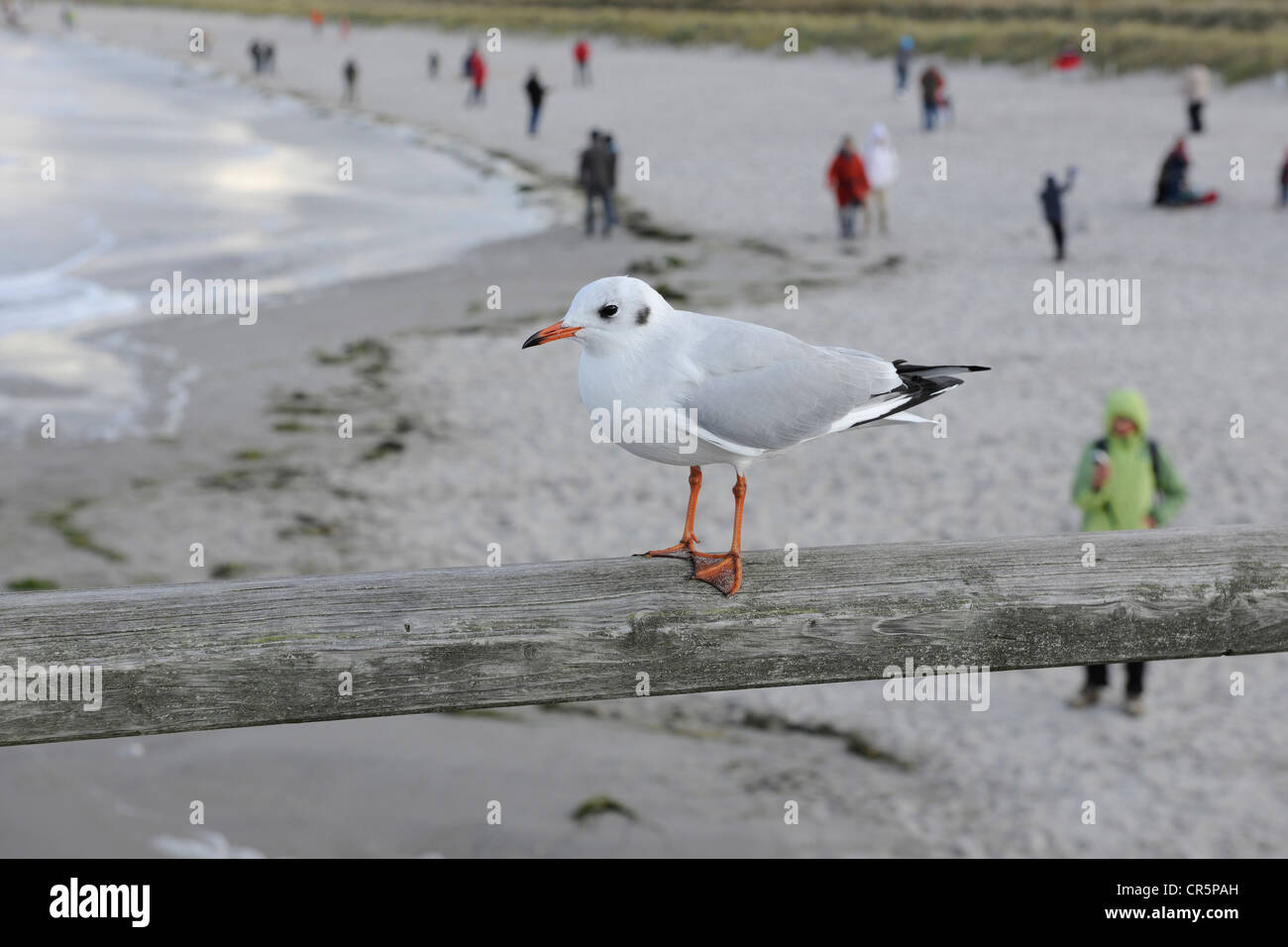 Black-headed Gull (Larus ridibundus) in winter plummage, sitting on the railing of the pier of Prerow, with blurred Stock Photo