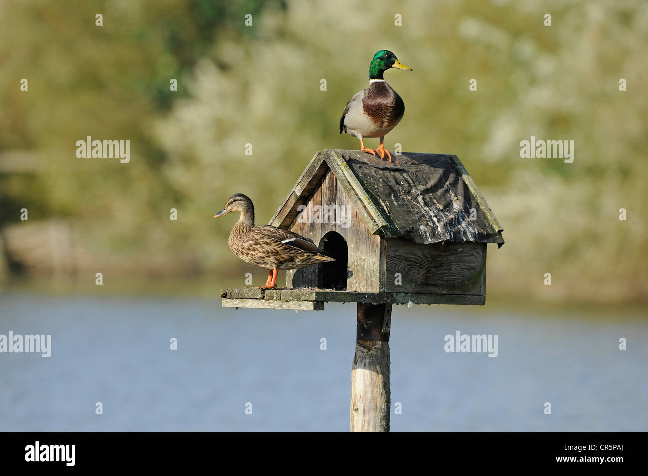 Mallard Ducks (Anas platyrhynchos), male and a female sitting on a nesting aid, a small wooden house that stands - Stock Image