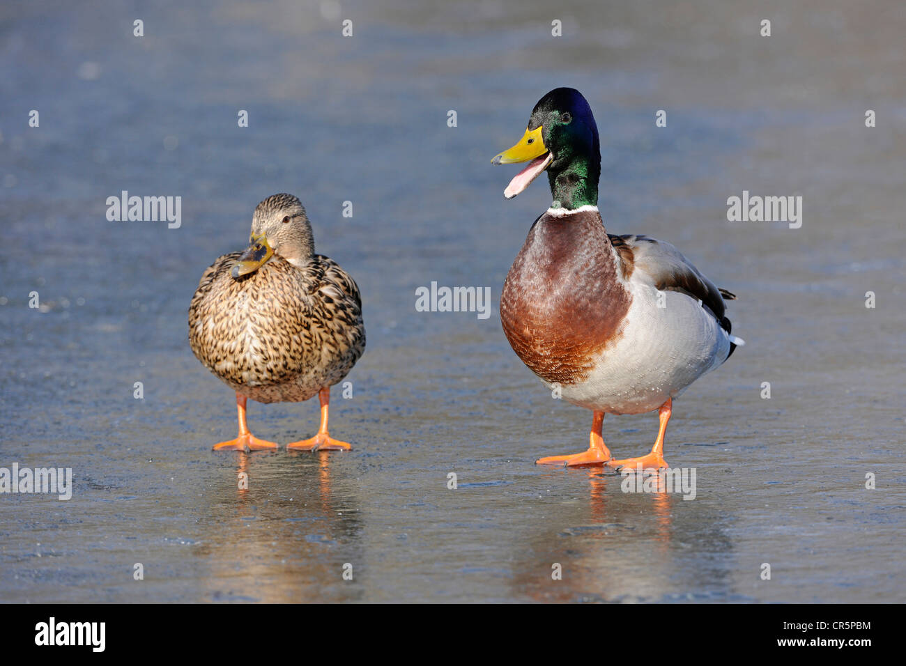 Mallard Ducks (Anas platyrhynchos), male and female standing on a frozen lake, the male has the beak wide open and - Stock Image