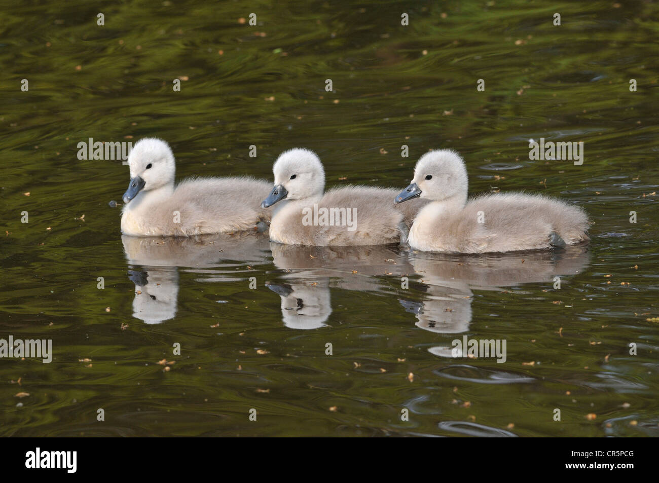 Mute Swans (Cygnus olor), three little fluffy chicks floating on the water, with a mirror image, Germany, Europe - Stock Image
